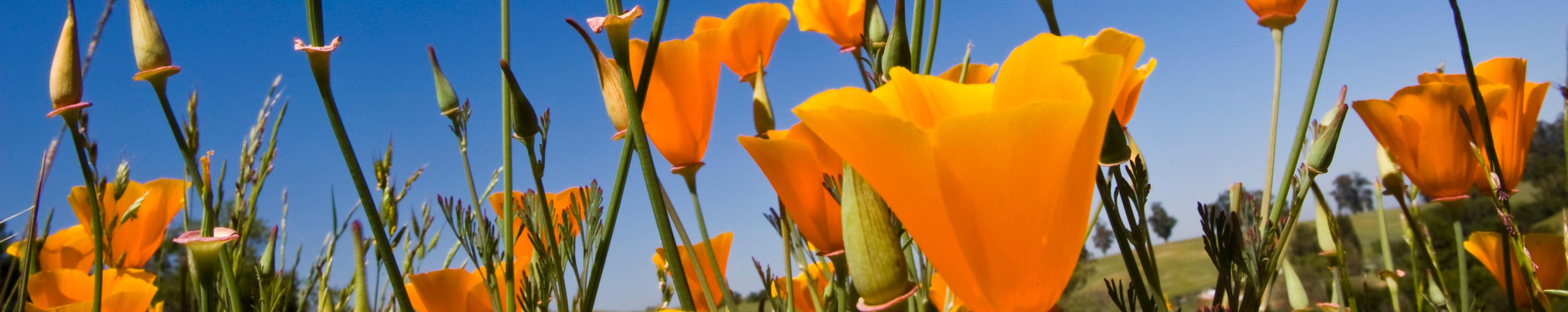 orangeFlower_wide3_flipped